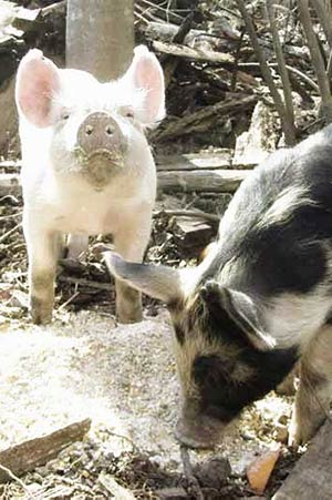 Two pigs having a meal at Earthaven Ecovillage