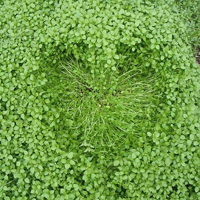 Heart in a covercrop