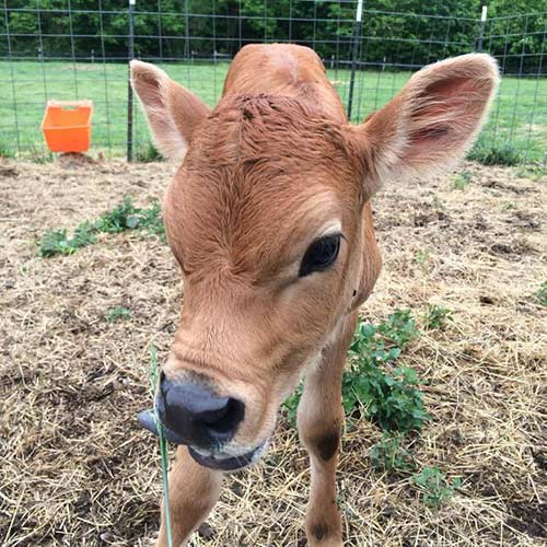 Jersey calf at Earthaven Ecovillage