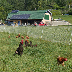 Spring chickens at Gateway field at Earthaven Ecovillage