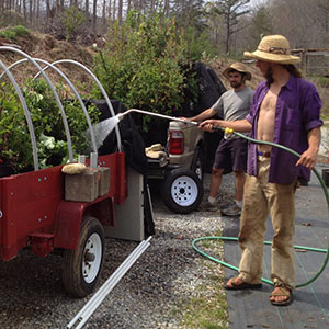 Watering plants before delivery at Useful Plants Nursery